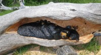 Bear Den – In Hollow Log